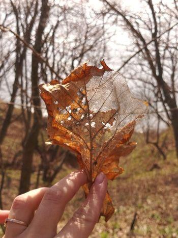 Maple Leaf Autumn Change Autumn Collection Dry Fallen Leaf Dried Plant