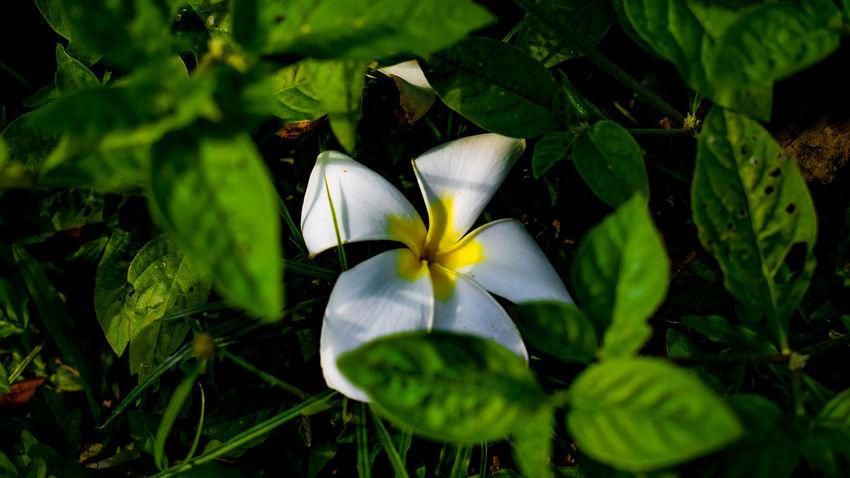 Hiding flower. Nature Flower Beauty In Nature EyeemPhilippines Green Color Close-up Flower Head Freshness Nature TravelPhilippines Life Eyeem Philippines White Flower