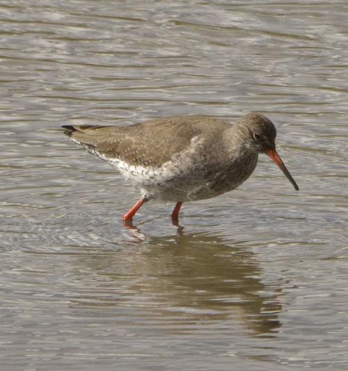 Bird Nature Red Shank Water Water Bird Water Fowl Waterfront Wildlife
