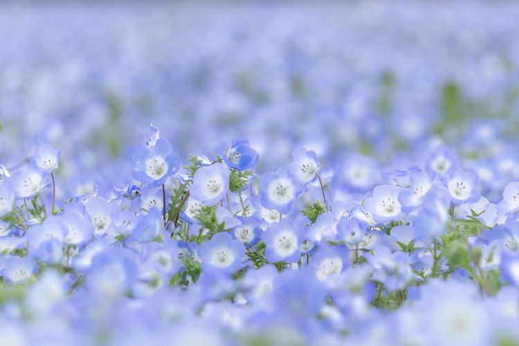 Flower Flowering Plant Freshness Selective Focus Beauty In Nature Plant Fragility Close-up Vulnerability  No People Nature Growth Springtime Backgrounds Day White Color Flower Head Purple Clean Softness Blue Nemophila My Best Photo