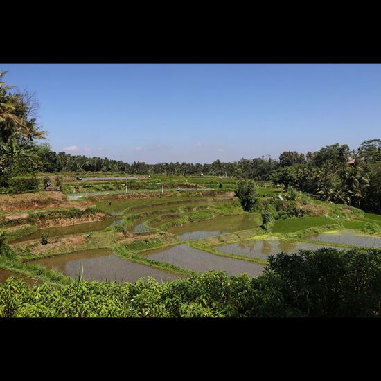 Agriculture Bali Beauty In Nature Blue Canal Clear Sky Copy Space Day Distant Field Green Color Growth Landscape Landscaped Nature Non-urban Scene Outdoors Plant Rural Scene Scenics Solitude Tranquil Scene Tranquility Tree Water
