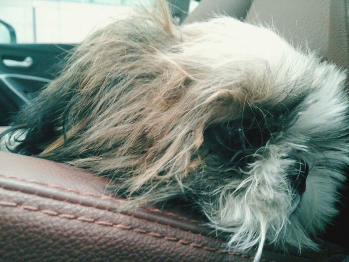 Dog Shih Tzu Doggy Sleepy