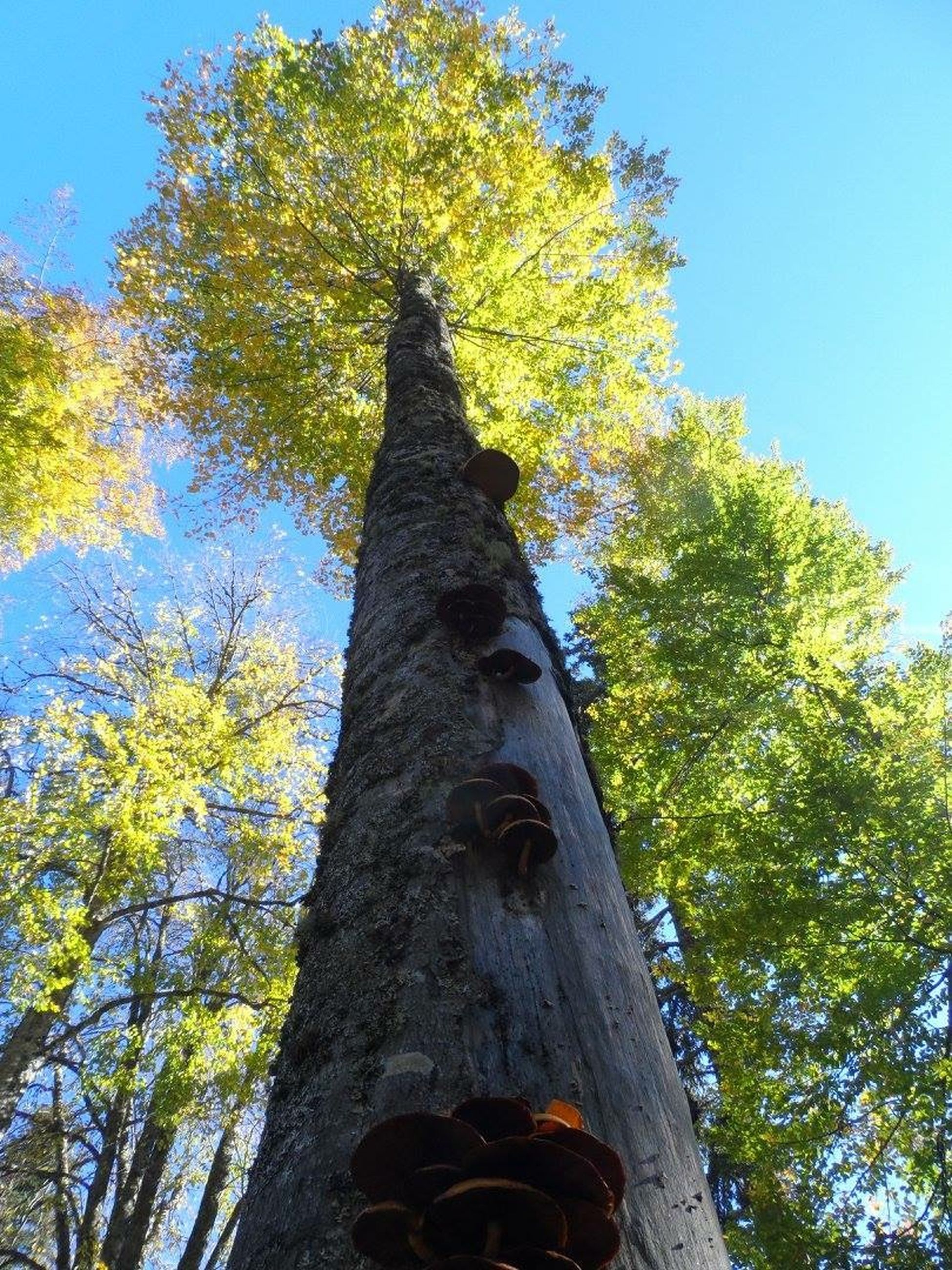 tree, low angle view, clear sky, tree trunk, growth, branch, nature, blue, tranquility, sky, sunlight, day, beauty in nature, outdoors, green color, leaf, forest, autumn, no people, wood - material