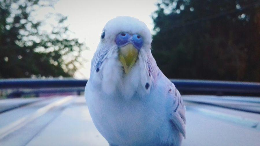 Blue Bird Cotorro Pretty 🎀