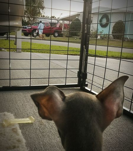 You're lucky I'm in a cage Mister...... Chihuahua Puppy King Of The World Chihuahuas<3 Poncho Kilo My Dogs Are Cooler Than Your Kids Dave And Wendi's Galvanized Aluminum Shed