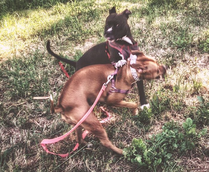 Playtime Max and Mocha Wrestling Doglife Playing Dog Park Dog Love I Love My Dog Pets Dogs Being Dogs...... Pit Bulls I Love My Pit Bull