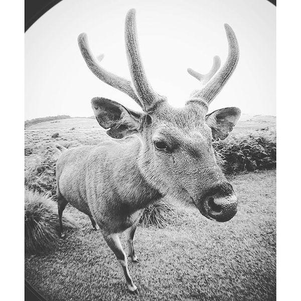 超為食的麋鹿... Horton Hortonplains Nanuoya Nuwaraeliya plains national nationalpark animal Elk