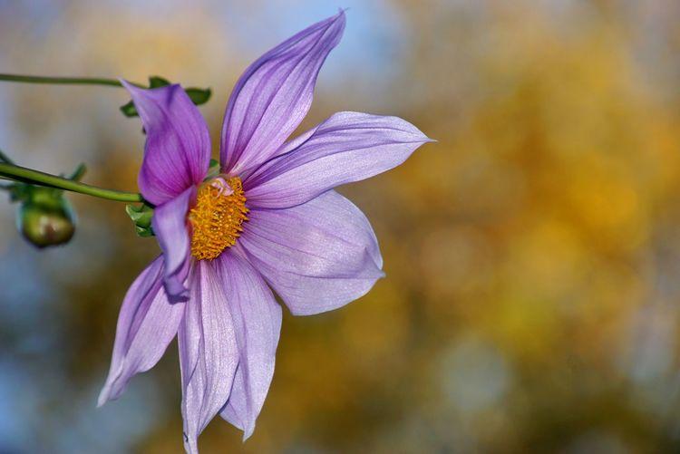 皇帝ダリア Tree Dahlia Flowerporn Nature_collection EyeEm Nature Lover