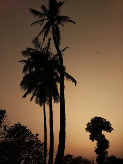 ☮️ peace Evening Evening Sky EyeEm Nature Lover Eye4photography  Naturelovers Incredible India Goodlife Nofilter Serene Nature Shades Of Grey Eyeem India Nature_collection Tree Palm Tree Sunset Tree Trunk Silhouette Sky Single Tree Long Shadow - Shadow Focus On Shadow Coconut Palm Tree Coconut Evergreen Tree Tranquil Scene Scenics EyeEmNewHere