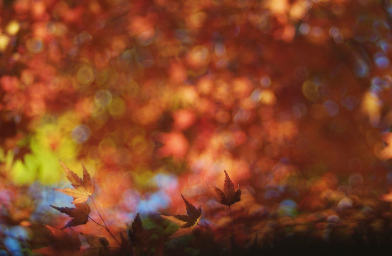 A Question of Lust EyeEmNewHere Autumn Beauty In Nature Change Day Leaf Leaves Maple Maple Leaf Maple Tree Nature No People Outdoors Tranquility Tree