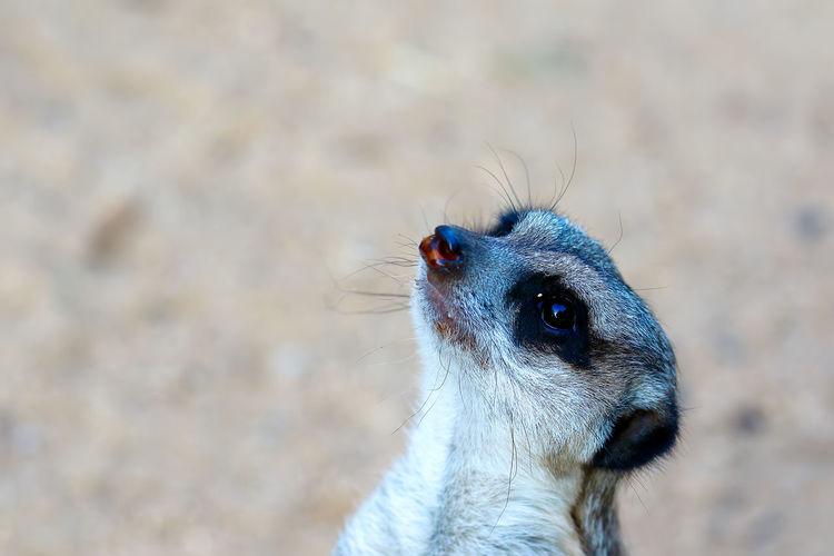 Close-Up Of Meerkat Looking Away