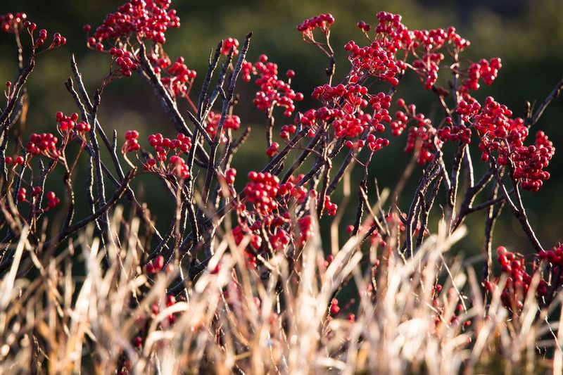 Red Currants Growing On Field