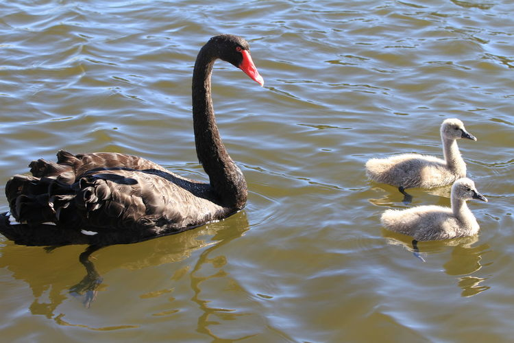Black Swan with