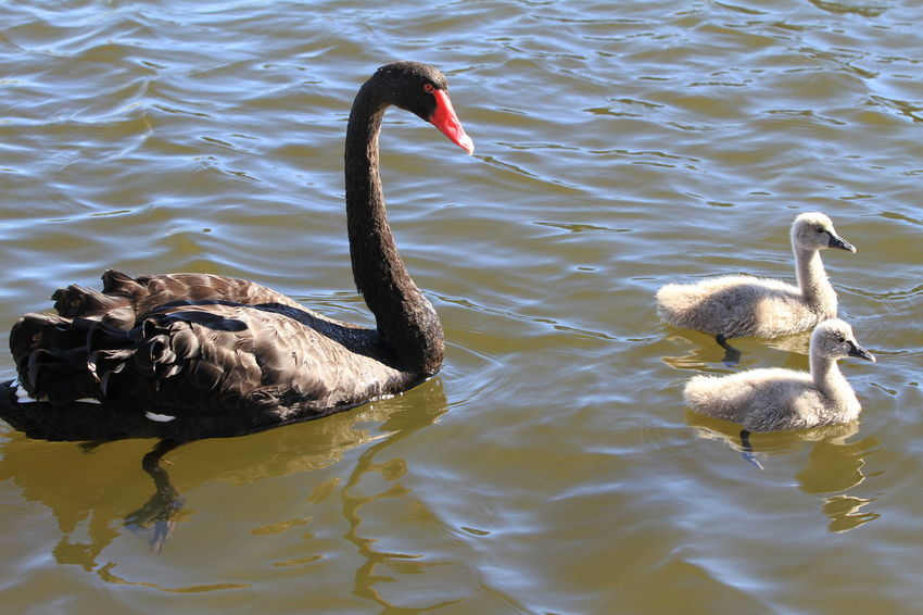 Black Swan with her Cygnets Black Swan Swan With Cygnets Animal Animal Family Animal Themes Animal Wildlife Animals In The Wild Beauty In Nature Bird Cygnet Day Flock Of Birds Group Of Animals Lake Nature No People Outdoors Swan Swimming Two Animals Vertebrate Water Water Bird Waterfront Young Animal