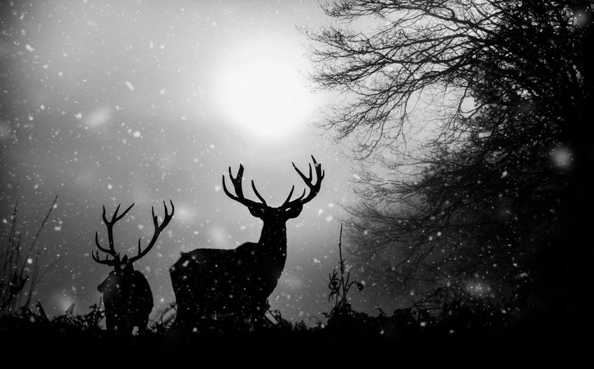 Sky Nature Weather No People Outdoors Beauty In Nature Silhouette One Animal Antler Bare Tree Deer Cloud - Sky Animal Themes Tree Snowing Day