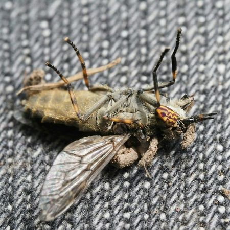 A swatted Horse fly. Fly Horsefly Bitten Bad Insect Badass Deceased
