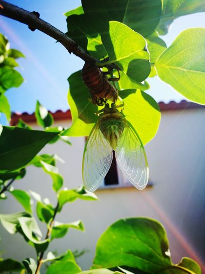 Outdoors Cigales Leaf Insect Butterfly - Insect Close-up Animal Themes Plant Green Color Cocoon