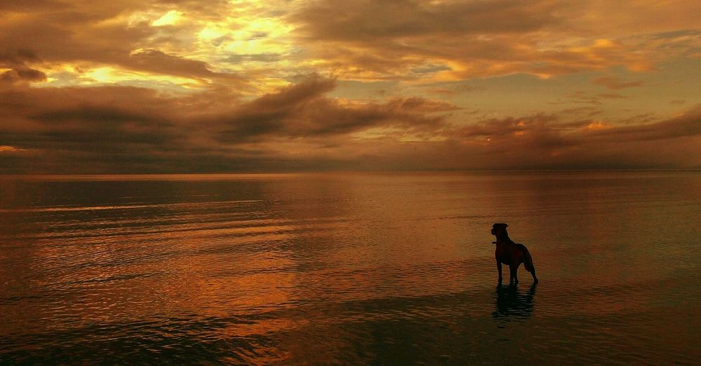 Silhouette dog standing in sea against sky during sunset