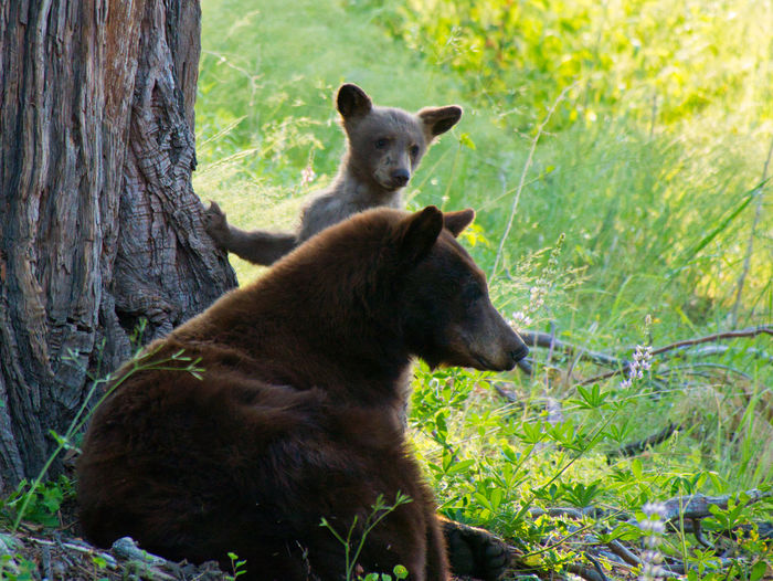On Alert Wildlife & Nature Animal Animal Themes Animal Wildlife Animals In The Wild Bear Cub Day Grass Land Looking Mammal Nature No People One Animal Outdoors Plant Tree Tree Trunk Trunk Vertebrate Young Animal