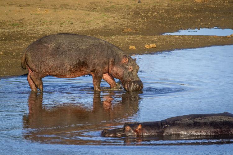 Hippopotamus drinking water from lake
