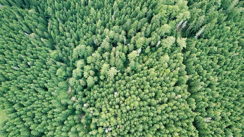 Carpathians Carpathian Mountains Pinaceae WoodLand High Angle View Aerial View Aerial Landscape Trees Aerial Tree Grass Green Color Pine Cone Pine Woodland Pine Tree Evergreen Tree Pine Wood