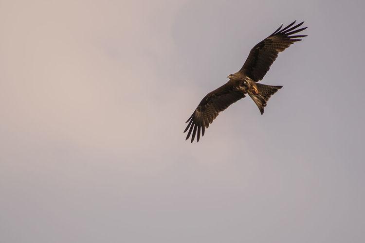 Eagle Eagle - Bird Bird Of Prey Bird Spread Wings Flying Bald Eagle Vulture Eagle - Bird Sky Animal Themes Falcon - Bird Hawk - Bird Fly Gliding Beak Feather