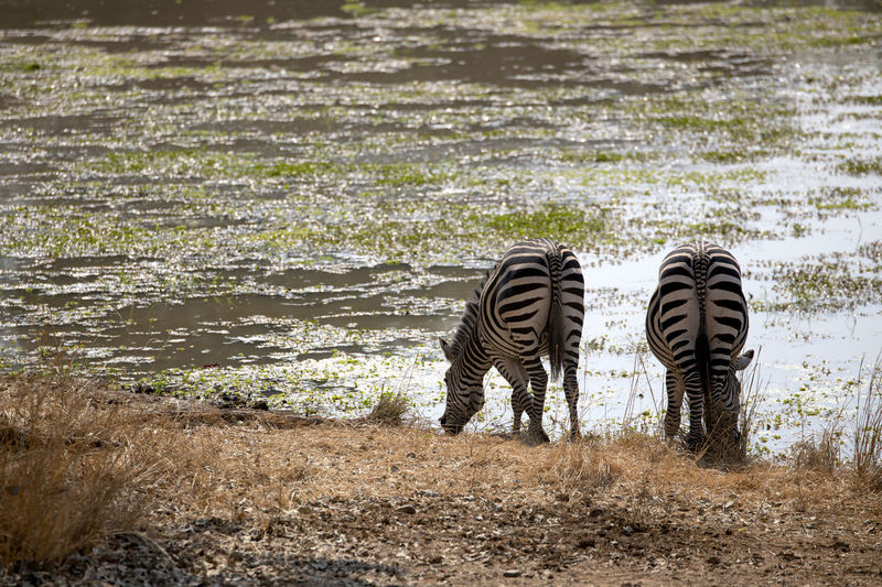 Two zebras in a lake