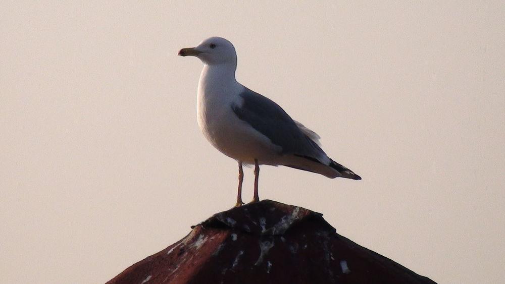 Çanakakale Seagull