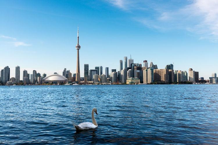 Swan swimming in lake ontario against city