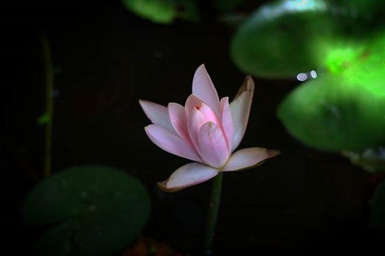 Tree Flowers Lotus Bokeh Picture Photo CameraMan Photographer Fujifilm Fujixe1 Fujithailand Xe1 Lens Manuallens Cannon Vintagelens Canonfd50mm Canonfd50mmf1_4 50mm F1_4 50mmlens Thailand Bangkok City Leaves pink amazingthailand @amazingthailand