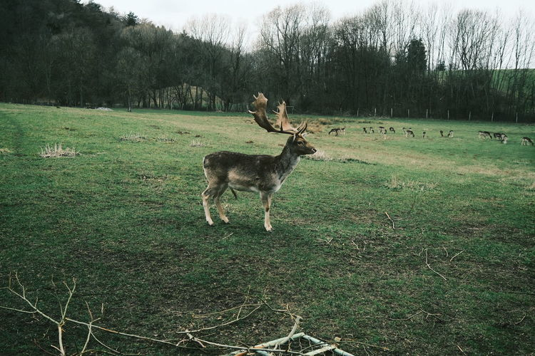 View of deer on field