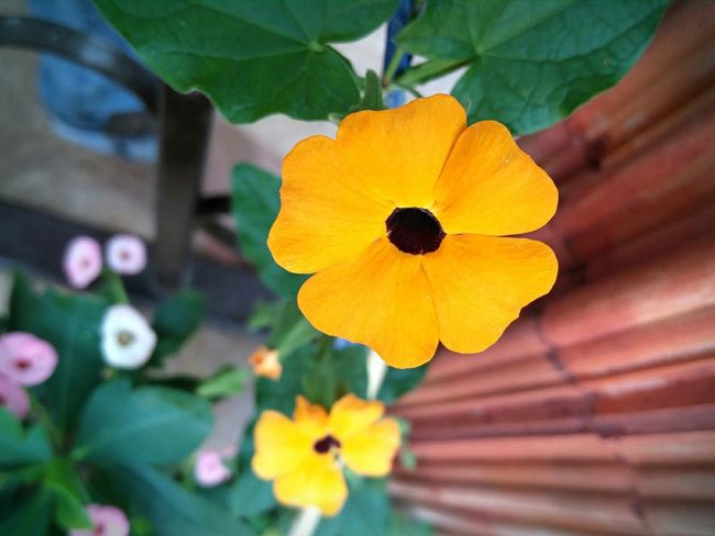 Flowers Make your day.. Flower Nature Bright Colors Goa Oneplus2photographie Oneplus Two Oneplusphotography