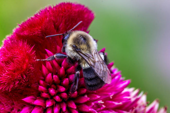 A Bee On A Red Velvet Celosia Animal Themes Beauty In Nature Bee Celosía Close-up Flower Focus On Foreground Honey Bee Insect Nature Nature Nature Photography One Animal Red Velvet Selective Focus Velvet