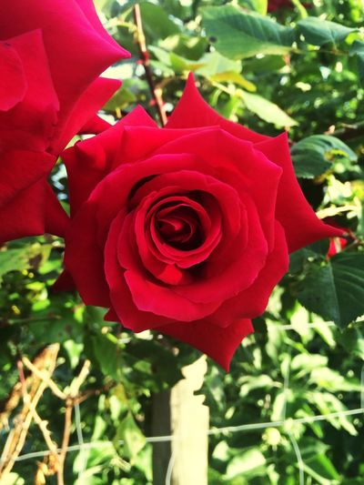 Sunny Day Roses Plants EyeEm Nature Lover Photography Check This Out Hanging Out Love It Rose🌹 Red