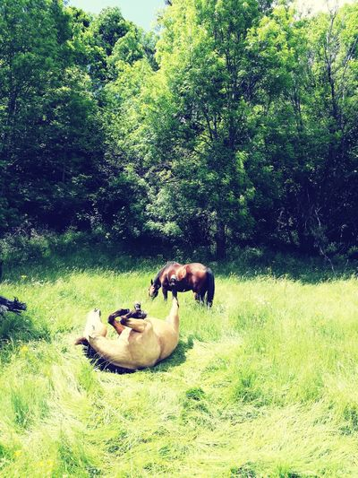 Animal Themes Grass Nature Horse Riding Cantalequilibre Cantal Horse Photography