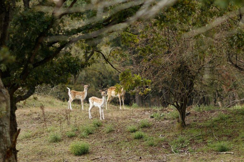Fallow Deer Mammal Animal Animal Themes Tree Plant Vertebrate Animal Wildlife Animals In The Wild Beauty In Nature Nature Deer