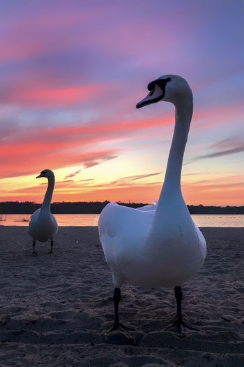 two swans in the sunset Berlin City West Nature Animal Themes Animal Wildlife Animals In The Wild Beach Beauty In Nature Bird Day Horizon Over Water Landscape Nature No People Outdoors Pelican Scenics Sea Seagull Sky Sunset Swan Water