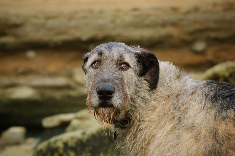 Irish Wolfhound dog portrait One Animal Pets Canine Dog Portrait Close-up No People Looking Irish Wolfhound Wolfhound Outdoors Purebred Dog Animal Themes Day