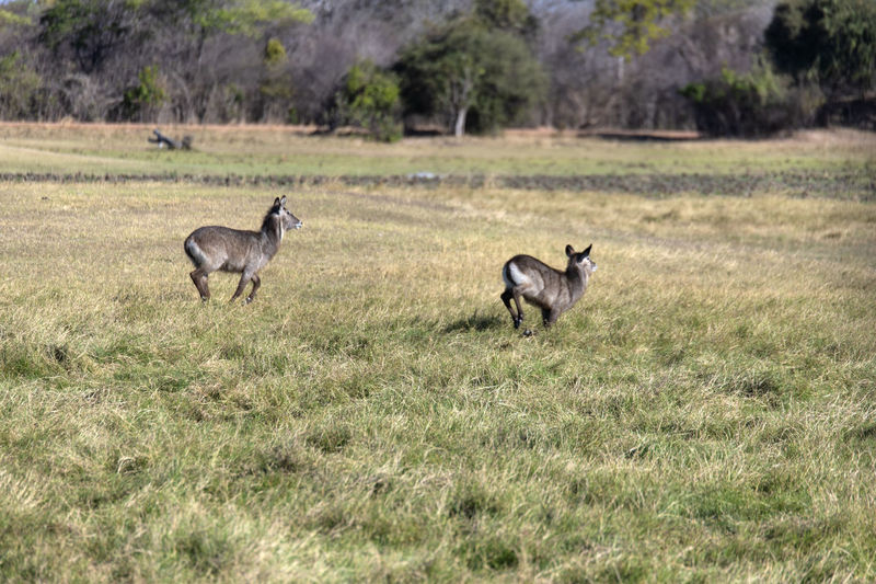 Side view of waterbucks on grassy field