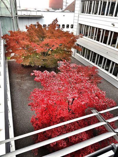 Red Maple Maple Leaves Foliage Autumn Autumn Colors Architecture Building Exterior Building Horticulture