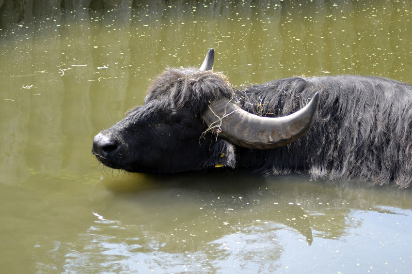 Zoo American Bison Animal Themes Day Horned Horned Animals Lake Mammal Nature No People One Animal Outdoors Water Water Buffalo Zoo Animals  Zoo Photography