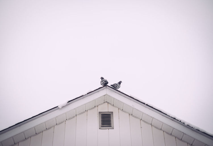 Low angle view of pigeons perching on roof against clear sky
