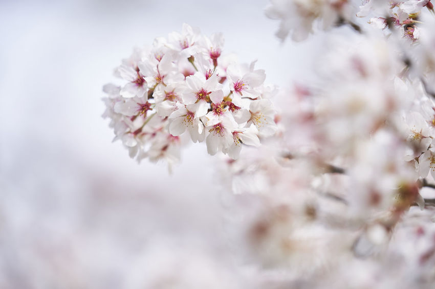 Beauty In Nature Blossom Branch Cherry Blossom Cherry Tree Close-up Day Flower Flower Head Flowering Plant Freshness Growth Nature No People Outdoors Pink Color Plant Selective Focus Softness Springtime Tree