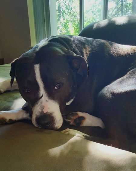 Lover Not A Fighter Pitbull Rescue My Dog Is Cooler Than Your Kid. Eugene Oregon Pit