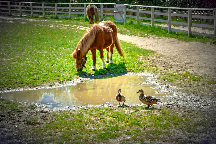 Animal Family Animal Themes Beauty In Nature Enten Grass Green Color Horse Nature No People Outdoors Paard Pferd Young Animal Zoology