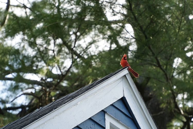 Low angle view of red male cardinal perching on roof