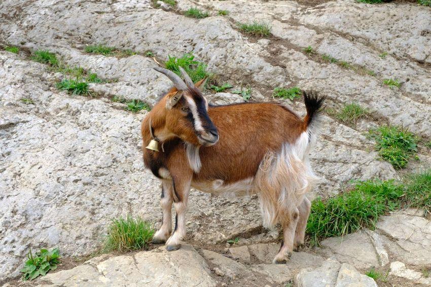Billy Goat Goat Animal Themes Animal One Animal Mammal Vertebrate Domestic Animals Domestic Livestock Rock Standing