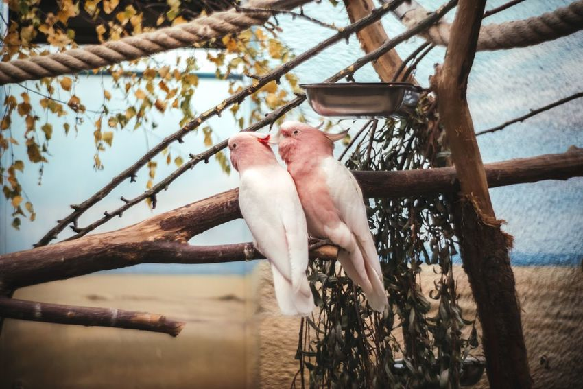 💞 Animal Themes Bird Low Angle View Animal Body Part Beak Perching Hanging Animals In The Wild Parrot Tree Animal Behavior Cockatoo Branch Always Be Cozy My Year My View Birds Birds Of EyeEm  Pink Pink Birds Couple Love Companion Soulmate Zoo Zoology