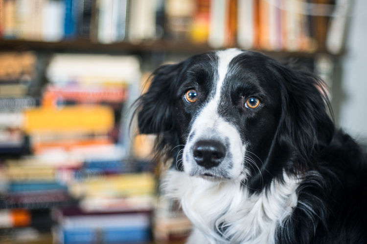 A sad border collie with books in the background Animal Themes Books Border Border Collie Close-up Day Dog Domestic Animals Focus On Foreground Indoors  Indoors  Indoorsphotography Inside Mammal No People Pets Portrait Sad