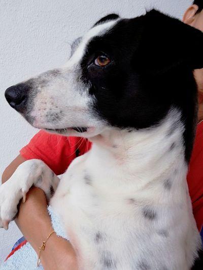 Beagle Pets Dog